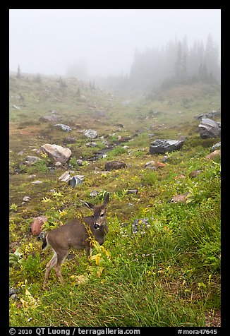 Deer in foggy alpine meadows, Paradise. Mount Rainier National Park (color)