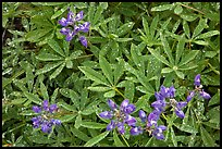 Close-up of lupine with rain droplets. Mount Rainier National Park, Washington, USA. (color)