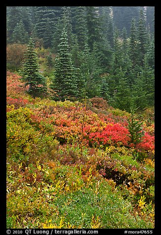 Meadow and forest in autumn. Mount Rainier National Park (color)