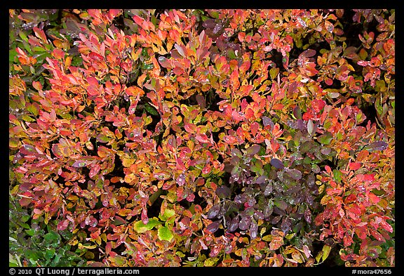 Close-up of berry leaves in autumn color. Mount Rainier National Park (color)