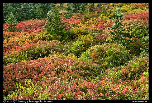 Alpine garden in the fall. Mount Rainier National Park (color)