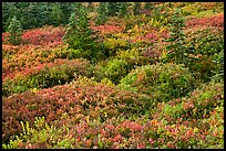 Alpine garden in the fall. Mount Rainier National Park, Washington, USA. (color)