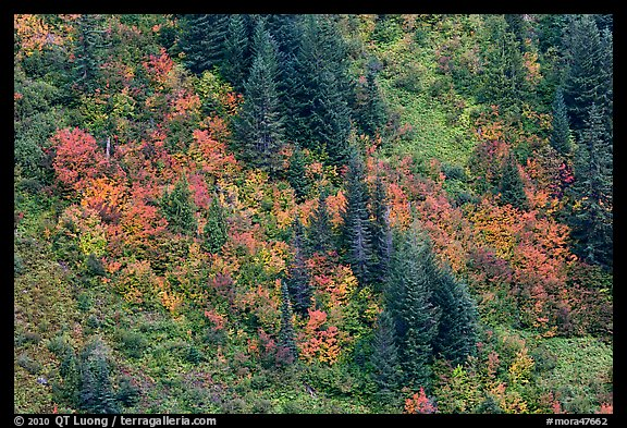 Slope with conifers and vine maples in autumn. Mount Rainier National Park (color)