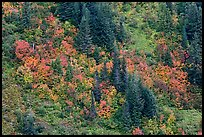 Slope with conifers and vine maples in autumn. Mount Rainier National Park, Washington, USA. (color)