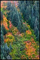 Slope with conifers and shrubs in fall color. Mount Rainier National Park ( color)