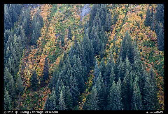 Vine maples color slopes in Stevens Canyon. Mount Rainier National Park (color)