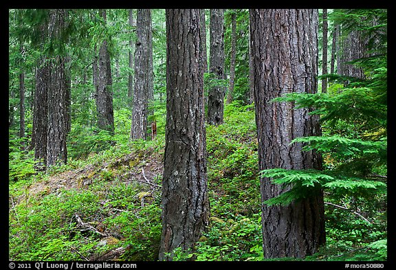 Conifer forest near Ohanapecosh. Mount Rainier National Park (color)