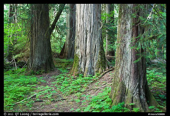 Patriarch Grove. Mount Rainier National Park (color)