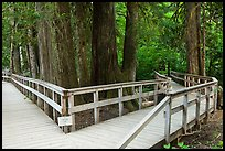 Boardwalk, Patriarch Grove. Mount Rainier National Park, Washington, USA. (color)