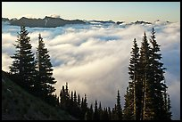 Sea of clouds and Governors Ridge, early morning. Mount Rainier National Park, Washington, USA. (color)