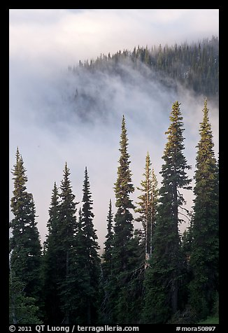 Forest and low clouds. Mount Rainier National Park (color)