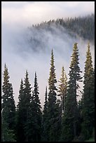 Forest and low clouds. Mount Rainier National Park, Washington, USA. (color)