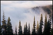 Trees, ridge, and fog. Mount Rainier National Park, Washington, USA. (color)