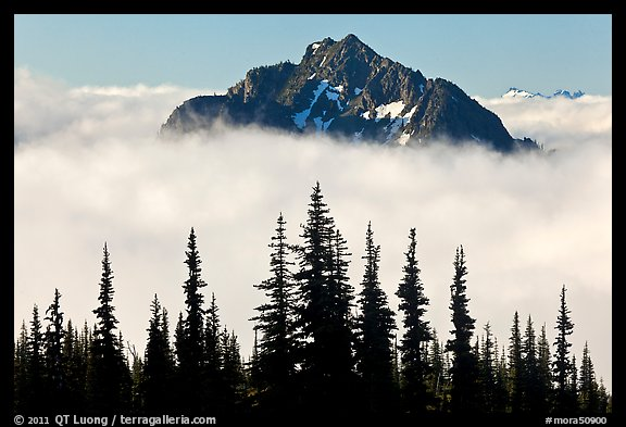 Spruce trees and Goat Island Mountain emerging from clouds. Mount Rainier National Park (color)