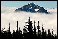 Spruce trees and Goat Island Mountain emerging from clouds. Mount Rainier National Park, Washington, USA. (color)