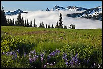Lupine, meadow, and mountains emerging from clouds. Mount Rainier National Park, Washington, USA. (color)