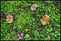 Close-up of mushrooms and ground plants. Mount Rainier National Park ( color)