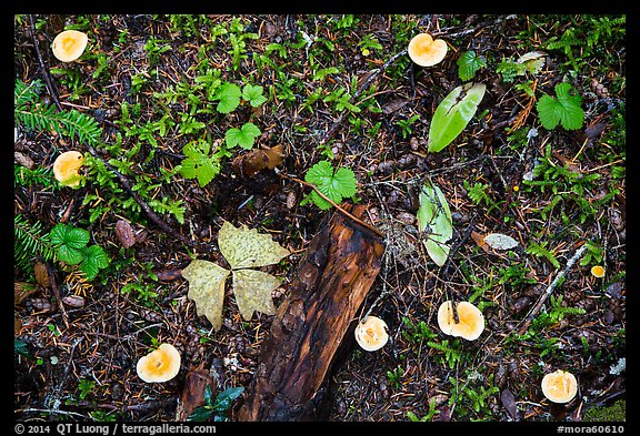 Close-up of forest floor with many mushrooms. Mount Rainier National Park (color)