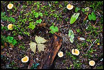 Close-up of forest floor with many mushrooms. Mount Rainier National Park ( color)