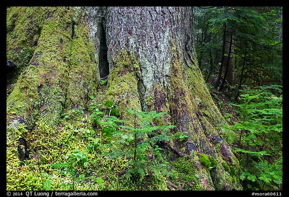 Base of tree trunk coverd with moss. Mount Rainier National Park (color)