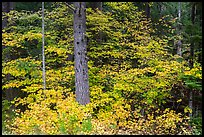 Vine maple in autumn foliage around tree. Mount Rainier National Park ( color)
