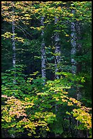 Vine maple and tree trunks. Mount Rainier National Park ( color)