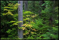 Ohanapecosh rain forest with vine maple in autumn. Mount Rainier National Park ( color)