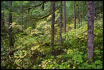 Rain forest in autumn, Ohanapecosh. Mount Rainier National Park ( color)