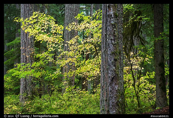 Ohanapecosh forest with yellow vine maple in autumn. Mount Rainier National Park (color)