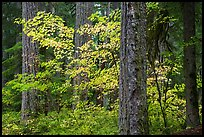 Ohanapecosh forest with yellow vine maple in autumn. Mount Rainier National Park ( color)