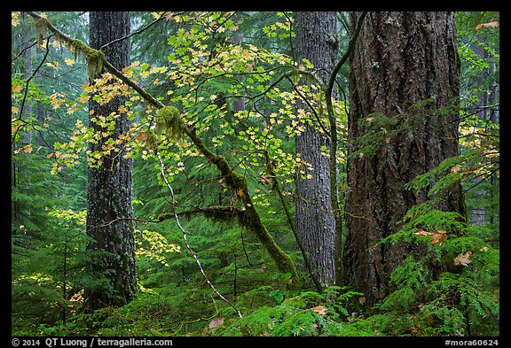 Vine maple and Ohanapecosh old-growth rain forest in autumn. Mount Rainier National Park (color)