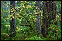Vine maple and Ohanapecosh old-growth rain forest in autumn. Mount Rainier National Park ( color)