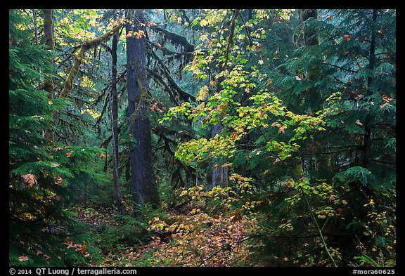 Ohanapecosh old-growth rain forest in autumn. Mount Rainier National Park (color)
