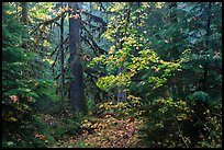 Ohanapecosh old-growth rain forest in autumn. Mount Rainier National Park ( color)