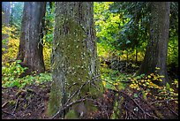 Grove of the Patriarchs in autumn. Mount Rainier National Park ( color)