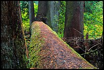 Fallen tree in autum, Grove of the Patriarchs. Mount Rainier National Park ( color)