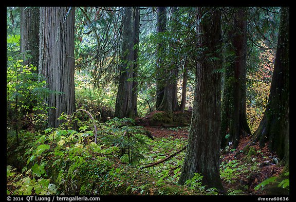 Old growth forest, Grove of the Patriarchs. Mount Rainier National Park (color)