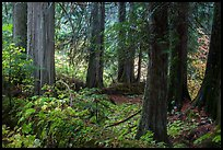 Old growth forest, Grove of the Patriarchs. Mount Rainier National Park ( color)