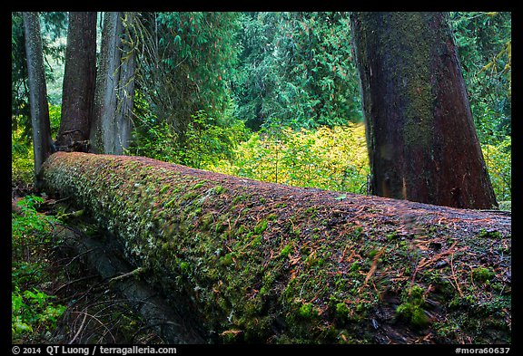 Fallen tree in autum, Grove of the Patriarchs. Mount Rainier National Park (color)