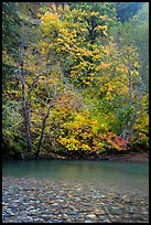 Vine maple in fall foliage along the Ohanapecosh River. Mount Rainier National Park ( color)