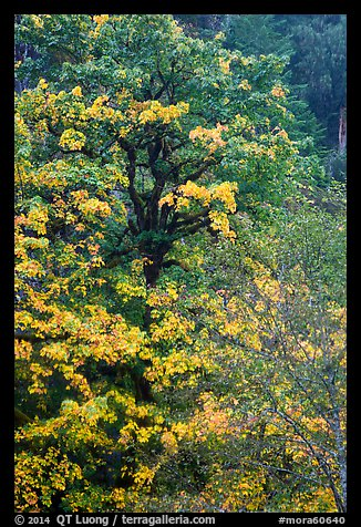 Bright yellow leaves and mossy tree, Ohanapecosh. Mount Rainier National Park (color)