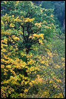 Bright yellow leaves and mossy tree, Ohanapecosh. Mount Rainier National Park ( color)