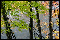 Maple trees leaves and branches lining up Ohanapecosh River. Mount Rainier National Park ( color)