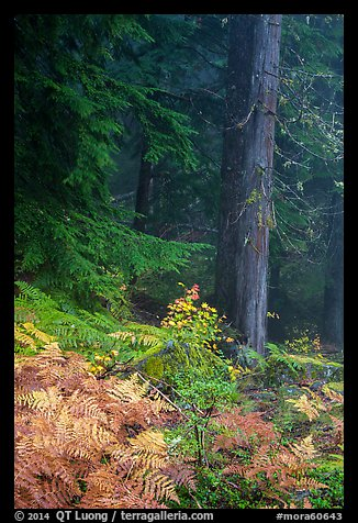 Ferns in autum color and old-growth forest. Mount Rainier National Park (color)