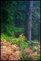 Ferns in autum color and old-growth forest. Mount Rainier National Park ( color)