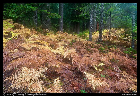 Ferns in autumn and old-growth forest. Mount Rainier National Park (color)