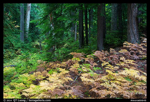 Ferns and old growth forest in autumn. Mount Rainier National Park (color)