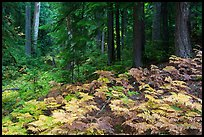 Ferns and old growth forest in autumn. Mount Rainier National Park ( color)