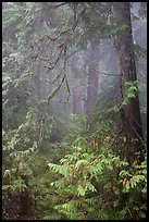 Old growth forest in fog. Mount Rainier National Park ( color)