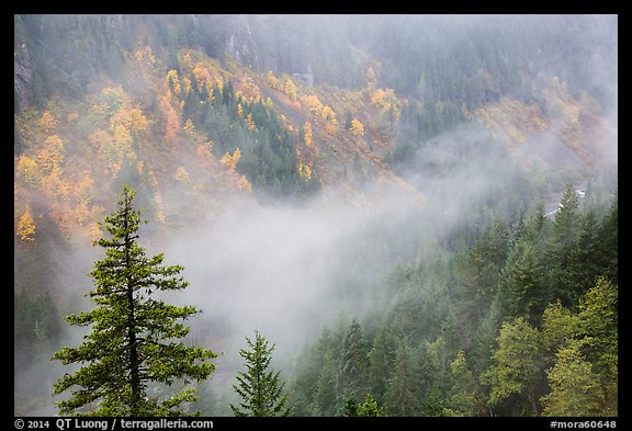 Fog and autumn colors, Stevens Canyon. Mount Rainier National Park (color)